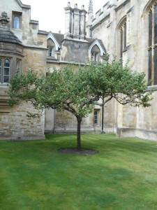 درخت سیب معروف نیوتون - کمبریج
